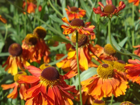 Helenium 'Moorheim Beauty'