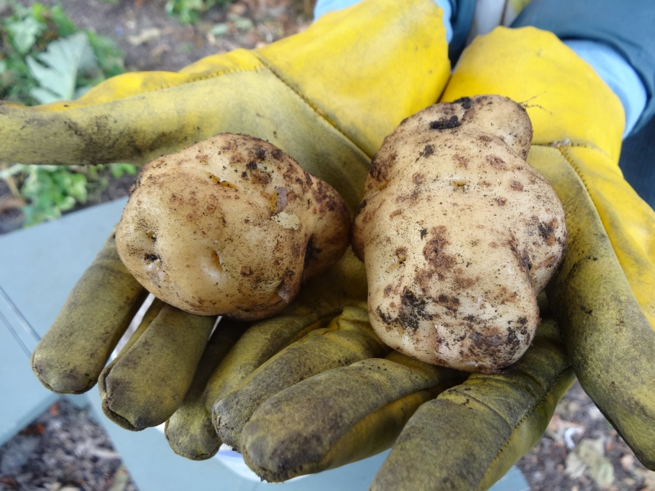Lumper potatoes, known as famine potatoes at Broadstone Community Garden