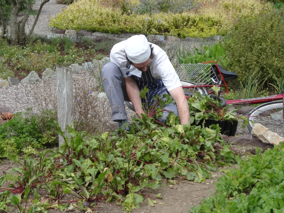 Ballymaloe kitchen garden - the chef gathers beetroot for soup and for roasting.