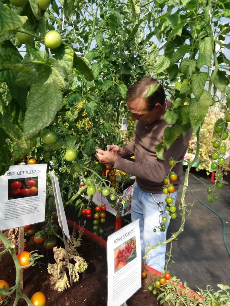 Hubert tending the tomatoes