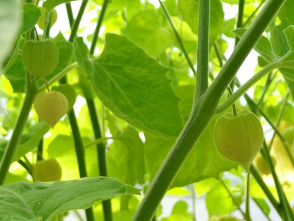 Physalis 'Golden Berry Gigante'