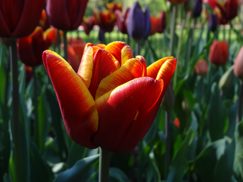 tulip mania jardin