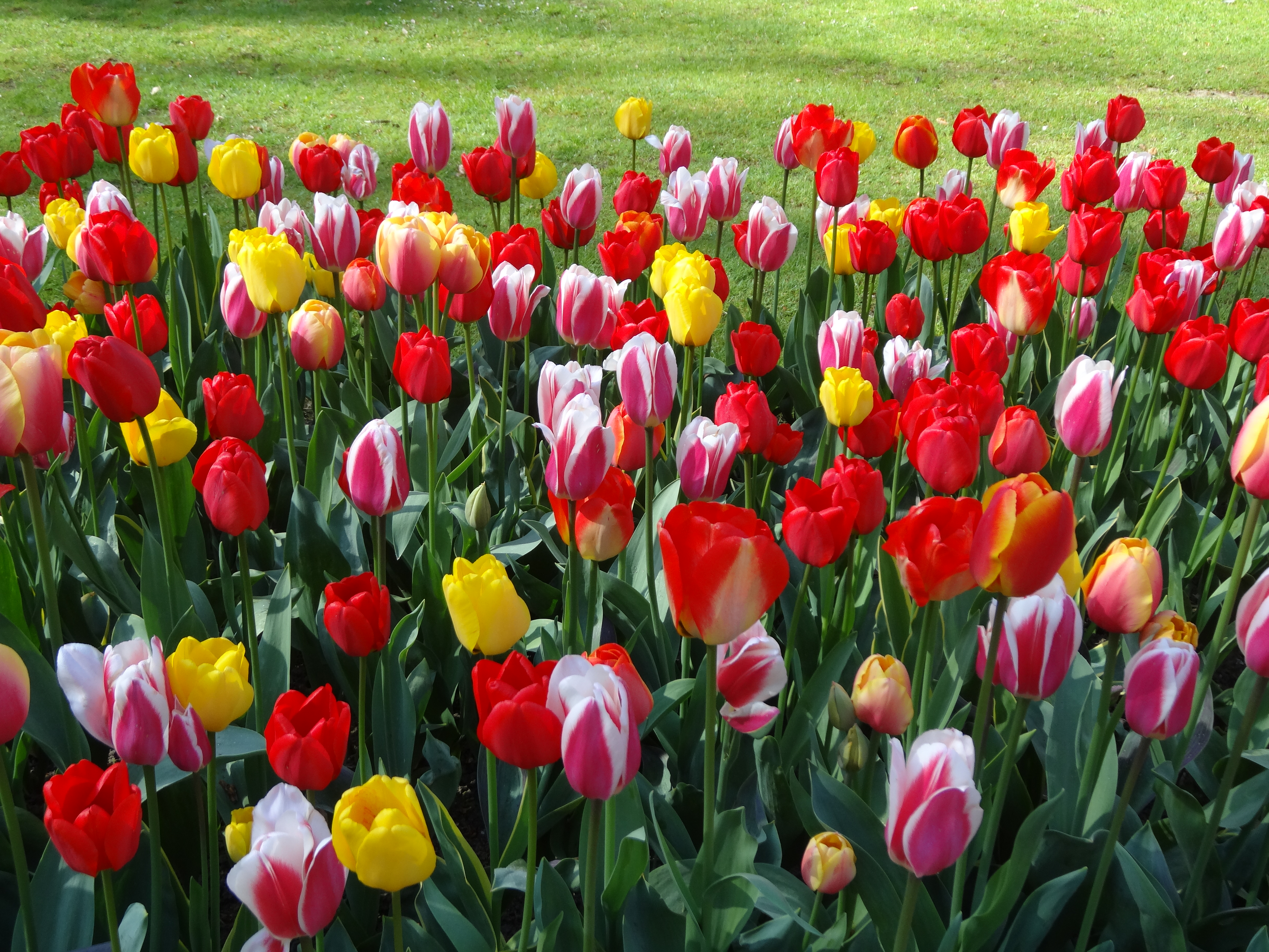 tulip mania Recorded history declares that through a combination of knowledge, power, and secrecy, clusius spurred on the passions of tulipomania as he transformed the tulip into a much desired and glamorous commodity.