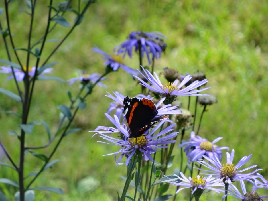 Butterfly on Aster amellus 'Rudolf Goethe'