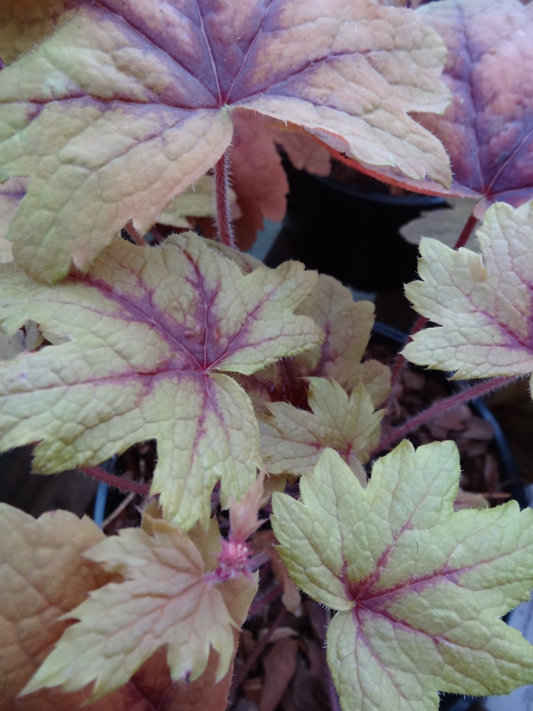 Heuchera 'Sweet Tea'
