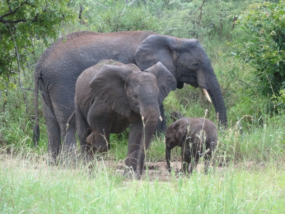 Family group of elephants