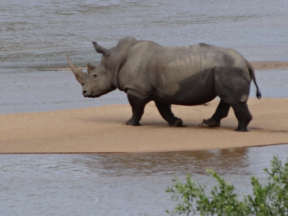 Rhino crossing the Sand river