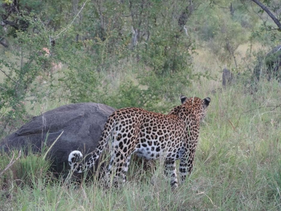 Leopard observing a hyena, Mala Mala
