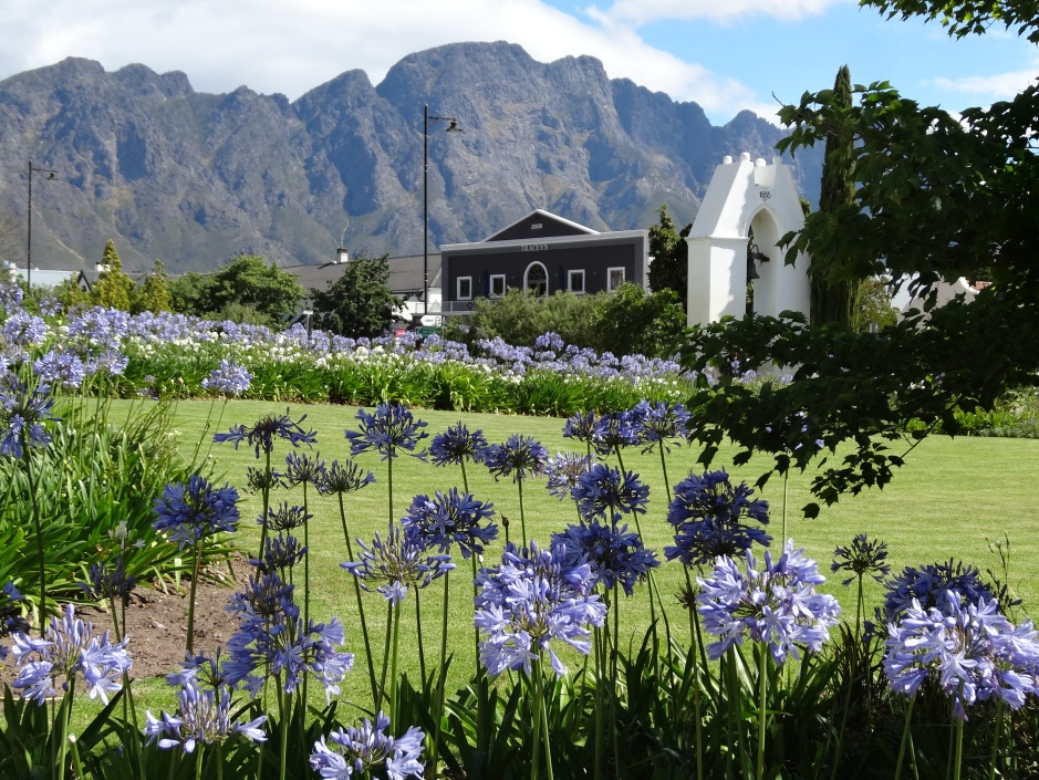 Agapanthus in their native South Africa
