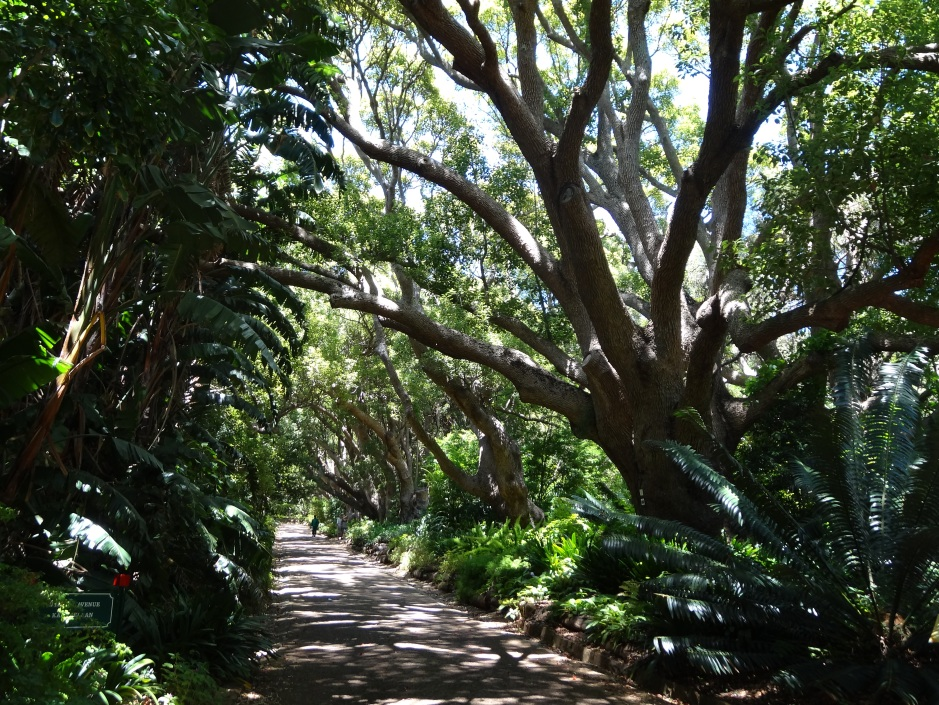 The Camphor avenue, Kirstenbosch
