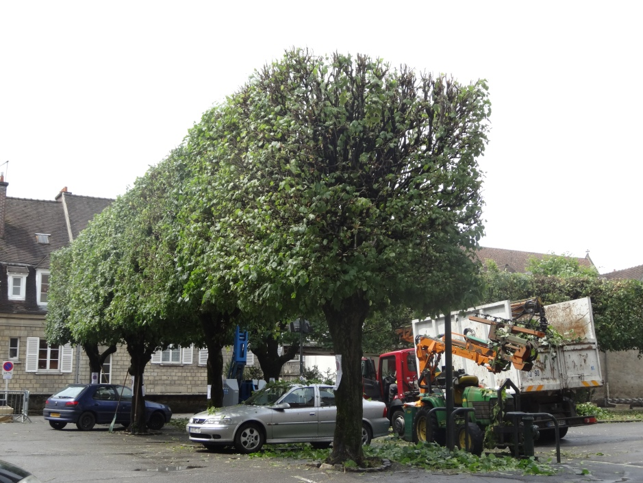Mature pleached trees getting a trim in a French town