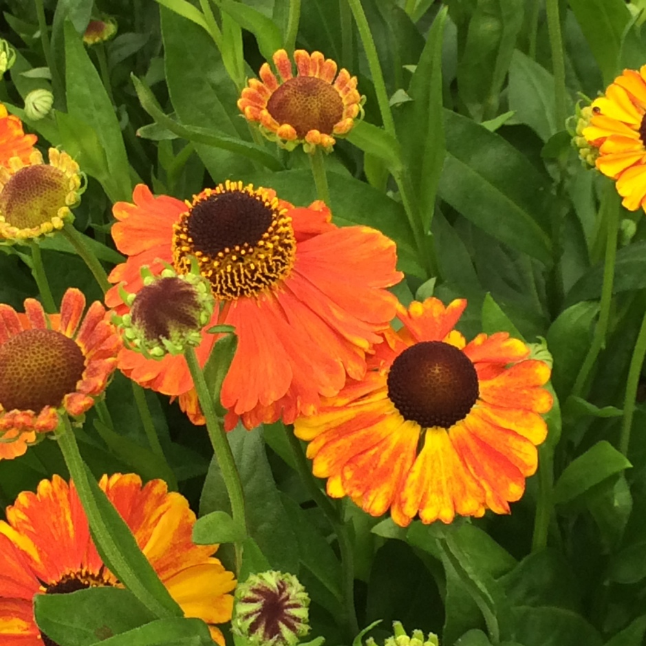 Late summer flowering Heleniums