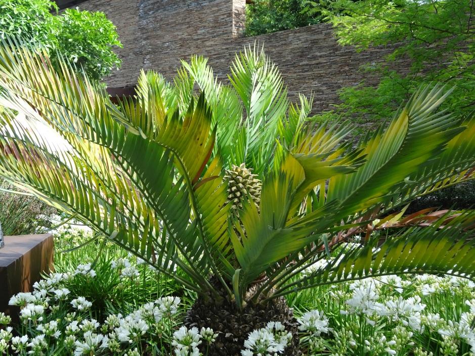 Encephalartos lehmanii Karoo Cycad