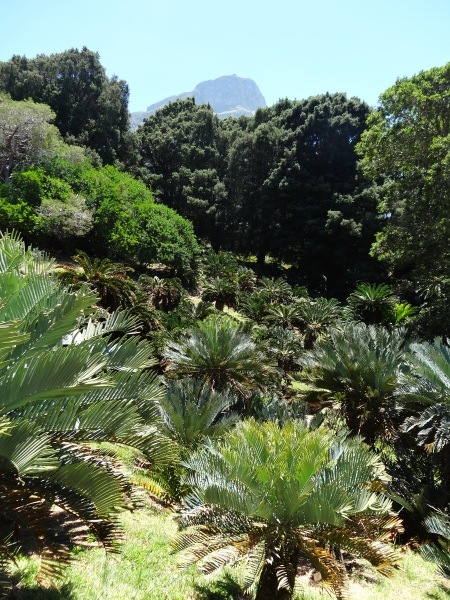 Cycads at Kirstenbosch