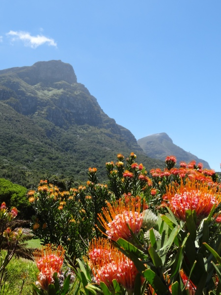 Proteas at Kirstenbosch