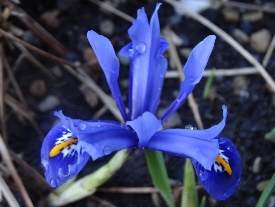 Iris 004