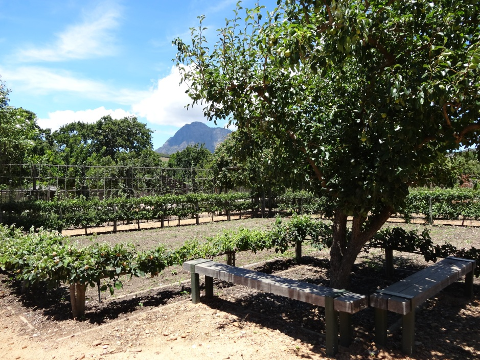 Stepover espaliered fruit trees