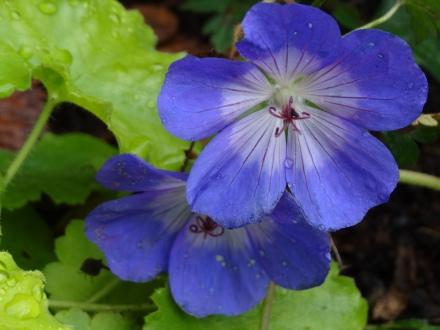 Geranium 'Rozanne'