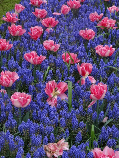 Blue muscari with pink tulips