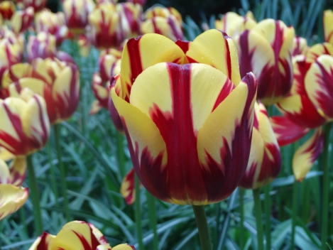 The bold colouring of Tulipa 'Helmar'