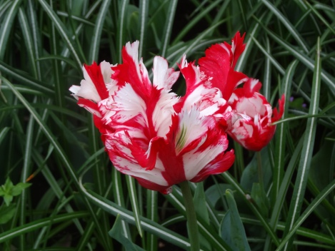 Wonderfully showy parrot tulip 'Estella Rijnveld'