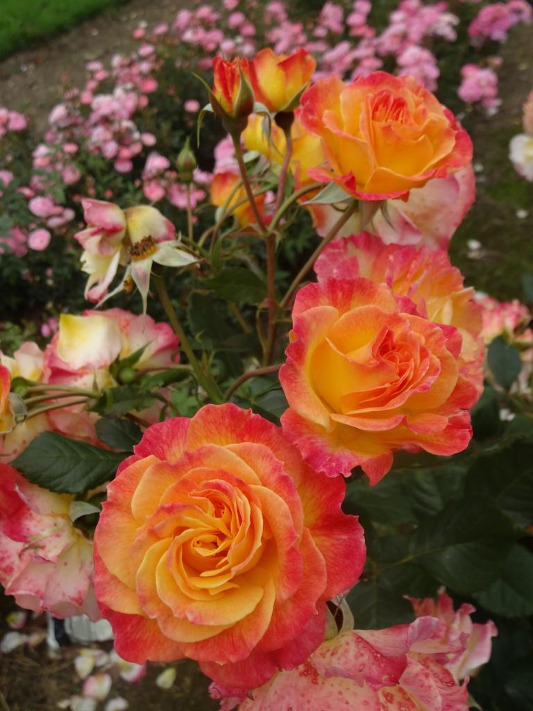 Dublin Rose Festival 2014 014