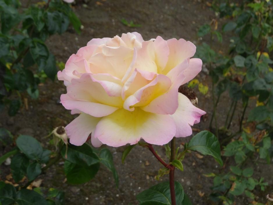 Dublin Rose Festival 2014 043