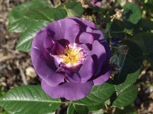Ardgillan Castle Rosa Dark Lady