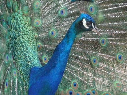 Peacocks in gardens