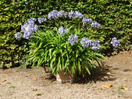 Agapanthus in a terracotta pot.