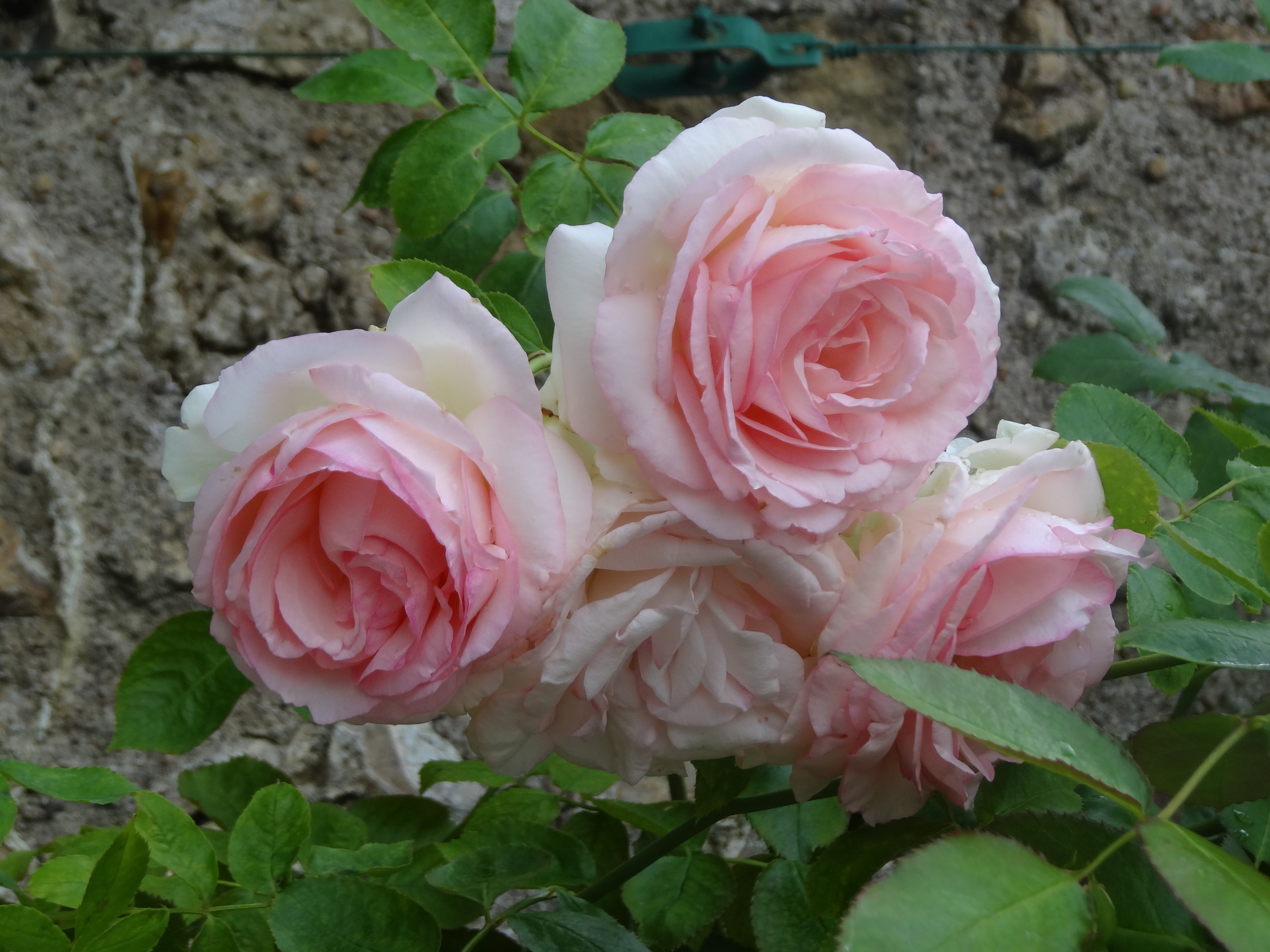 Roses In Garden: French Accents In The Garden