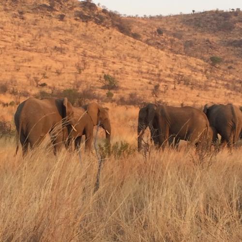 Elephants at sunset