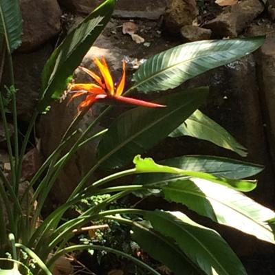 "Strelitzia regina, ""Bird of Paradise"" flower by the Lodge."