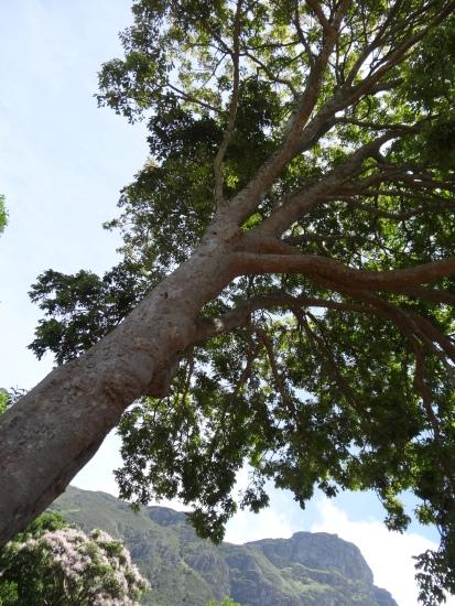 African Mahogany tree