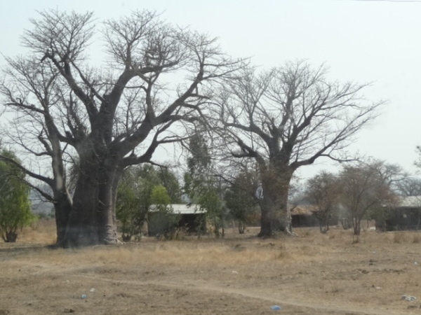 Racing past baobab trees.