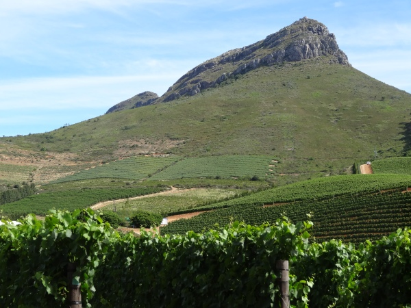 The vineyards at Delaire.