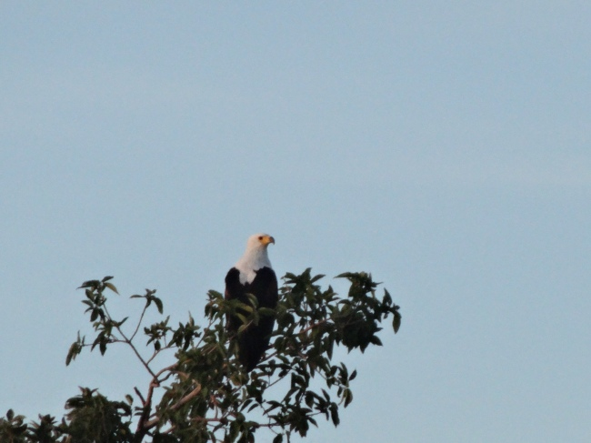 Waking to the call of the fish eagle.