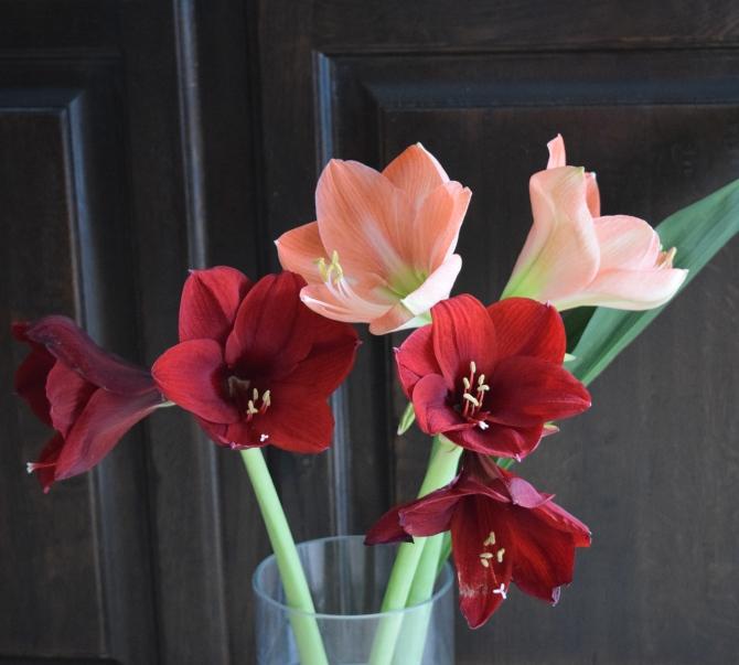 Amaryllis - petals like velvet!
