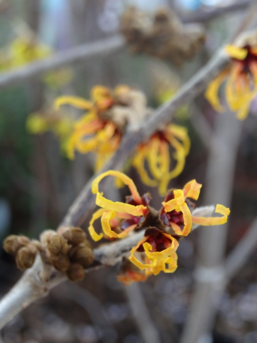 Hamamelis x  intermedia 'Orange Beauty'.
