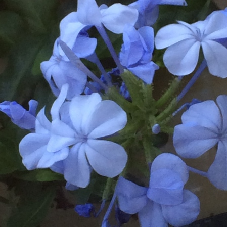 The soft blue of Plumbago