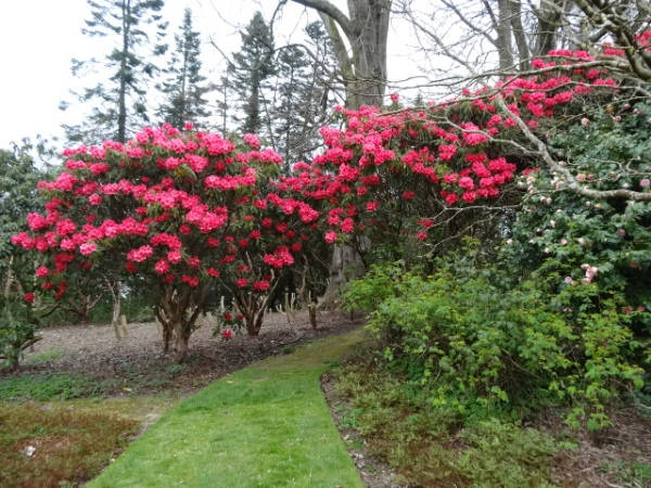 Rhododendrons on the woodland walk, Mount Congreve.