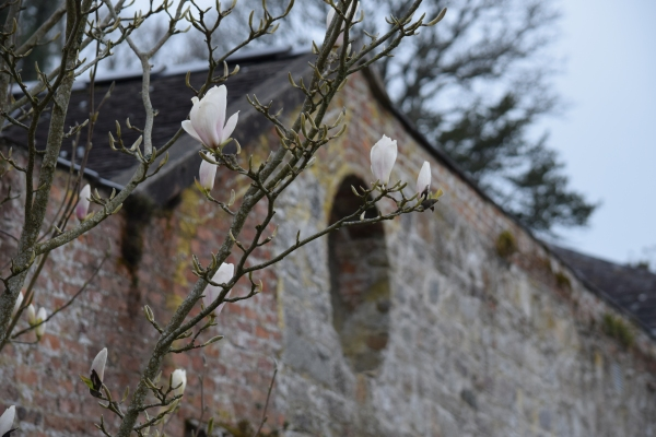 Magnolias in the walled garden, Mount Congreve.