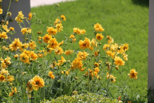 Geums - a little splash of sunshine.