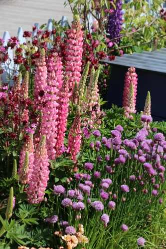 Colourful cottage garden planting of Lupins and Chives.