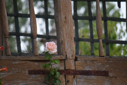 A rose on the Queen's house.