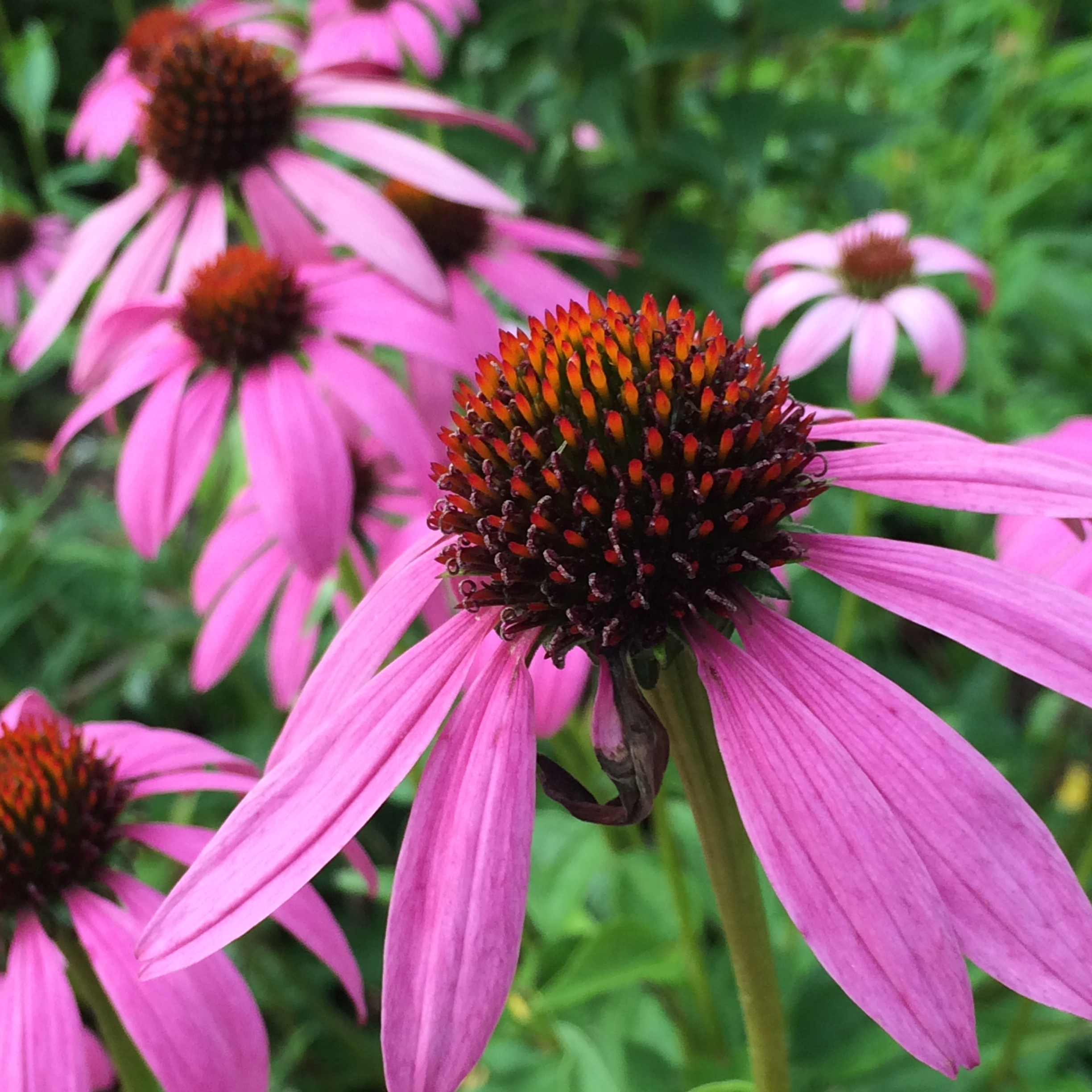 Top 10 hardworking plants for herbaceous borders jardin echinacea long lasting self supporting daisy like flowers make an impact in a border izmirmasajfo