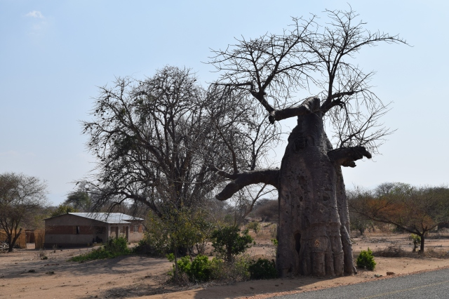 In the land of baobab trees.