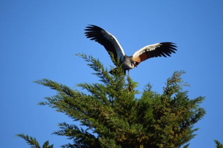 The outstretched wings of a Crowned Crane, Mt Kenya.