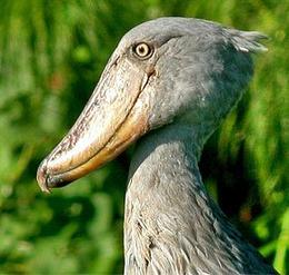 shoebill_rainbow2body